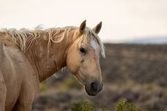 Wild Mustang Stallion Look Back royalty free stock photography