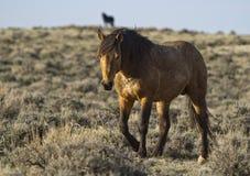 Wild mustang stallions Stock Photos