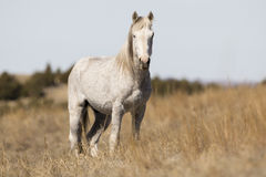 Wild Mustang standing at alert Stock Images