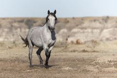 Wild Mustang at Theodore Roosevelt National Park Badlands stock image