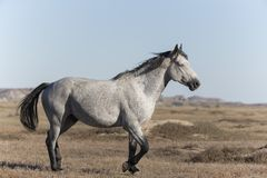 Wild Mustang at Theodore Roosevelt National Park Badlands royalty free stock images