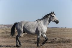 Wild Mustang at Theodore Roosevelt National Park Badlands stock photo