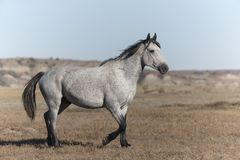 Wild Mustang at Theodore Roosevelt National Park Badlands royalty free stock photos