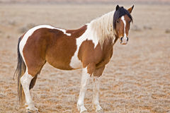 Wild Mustang Watching Stock Photography