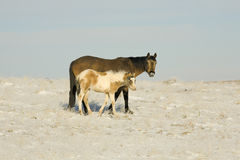 Wild Mustangs mare and colt. Wild horses colt and mare in McCullough Peaks Wyoming snow covered desert land Royalty Free Stock Photography