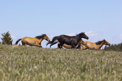 Wild Mustangs Stock Photo
