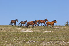 Wild Mustangs Royalty Free Stock Photos