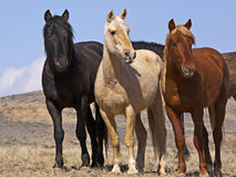 Wild Mustangs watching Stock Image