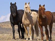 Wild Mustangs watching Stock Image