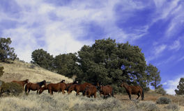 Wild Mustangs Stock Image