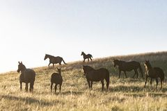 Mustang gathering on the lower grasslands royalty free stock photo