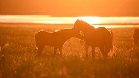Wild mustangs graze at sunset
