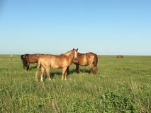 Wild mustangs grazing in the Flinthills. Found these awesome wild mustangs enjoying the abuant of green grass of the Flinthills of Butler County, Kansas Stock Images