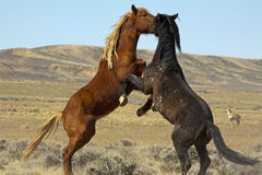 Wild Mustangs Horse Stallion Fight Royalty Free Stock Photos