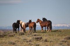 Wild Mustangs of McCollough Peak Stock Image