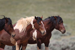 Wild Mustangs of McCullough Peaks Royalty Free Stock Photos
