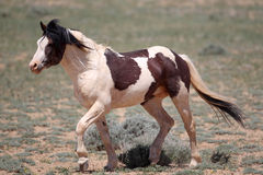 Wild Mustangs of McCullough Peaks Stock Images