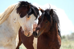 Wild Mustangs of McCullough Peaks Royalty Free Stock Image