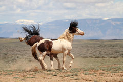 Wild Mustangs of McCullough Peaks Stock Photos