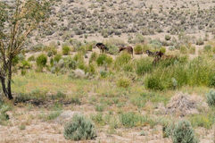 Wild Mustangs in the Nevada desert Royalty Free Stock Images