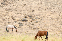 Wild Mustangs in the Nevada desert Stock Photo