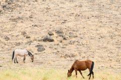 Wild Mustangs in the Nevada desert. Wild horses graze in the Nevada Desert Stock Photo