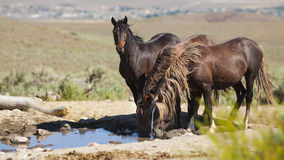 Wild Mustangs Royalty Free Stock Photography