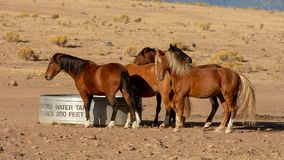 Wild mustangs by the water tank stock photography