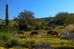 Wild Mustangs in Wildflower Desert Stock Image