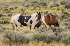 Wild Mustangs in Wyoming. Wild mustang horse on the high plains of Wyoming grazing on sage grass royalty free stock image