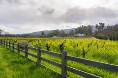 Wild mustard in bloom at a vineyard in the spring, Sonoma Valley, California royalty free stock photos