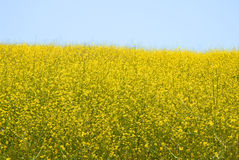 Wild Mustard - Brassica Rapa Royalty Free Stock Images