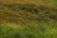 Wild Mustard and California Poppies Cover a Filed royalty free stock images
