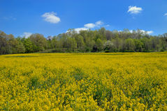 Wild Mustard Field Stock Photos