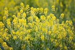 Wild Mustard in a Field. On a spring day Stock Image