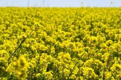 Wild Mustard field #1 Stock Photo