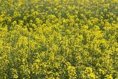 Wild mustard flowers. Stock Image
