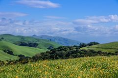 Wild Mustard in Grassy East Bay Hills. Stock Images