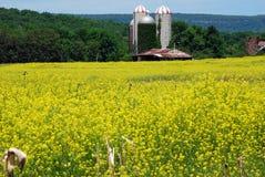 Wild Mustard grows on Fallow Corn Field Royalty Free Stock Photo