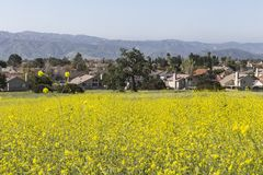 Wild Mustard Meadow Royalty Free Stock Image