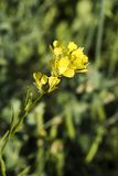 Wild Mustard Plant Royalty Free Stock Photo