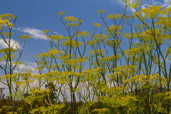 Wild Mustard. Stalks grow high royalty free stock image
