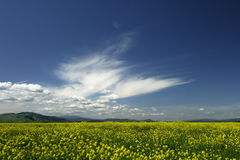Wild Mustard Vista. A field of wild mustard under a deep blue  California sky Royalty Free Stock Photos