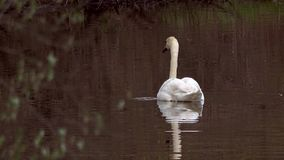 Wild Mute Swan. A Wild Mute Swan on a dark water background during spring migration in Pennsylvania 2017 stock footage