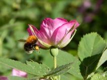 Wild nam met een bijenclose-up toe stock afbeeldingen
