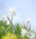 Wild narcissus Stock Photo