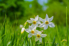 Wild narcissus flowers Stock Image