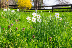 Wild narcissus in grass Royalty Free Stock Photography