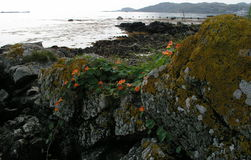 Wild nasturtiums growing on the Isle of Jura. royalty free stock image