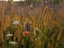 Wild grasses. Wild native grasses lit with sun Royalty Free Stock Image